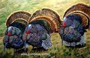 The boys ..Wild Turkeys